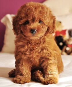 Wanted: small, hypo allergenic puppy