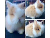 One double maned blue eyed baby buck lionhead, near Edinburgh. Ready now.