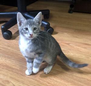 Blue Savannah Kittens