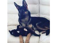 Female German shepherd 2 years old