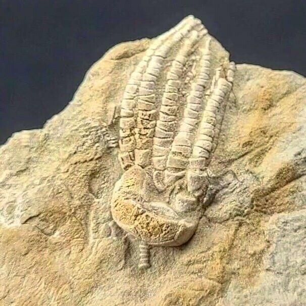 Fossil Crinoid Pentaramicrinus Altonensis Bangor Formation Alabama