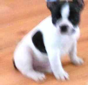 Looking for male French bulldog