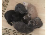 Beautiful kittens black grey tabby tortoiseshell