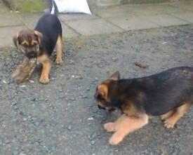 Patterdale Border terrier mix pups