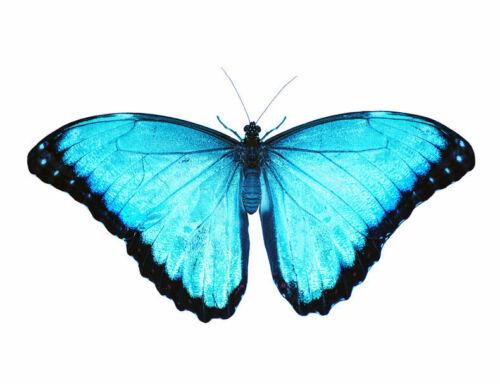 Peleides Morpho Butterfly Morpho peleides peleides Female Folded FAST FROM USA