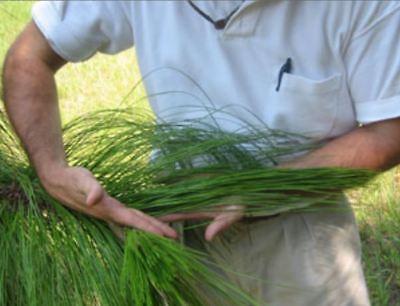 Longleaf Pine Tree Cuttings- 12 - Beautiful! Fast growing! Grow Pine Tree