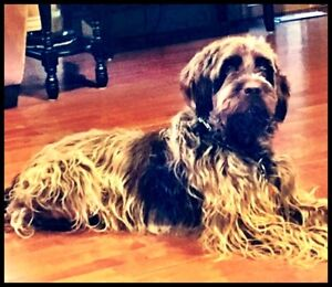 Wirehaired Pointing Griffon Dog Wanted