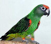 Perroquet Jardine mâle