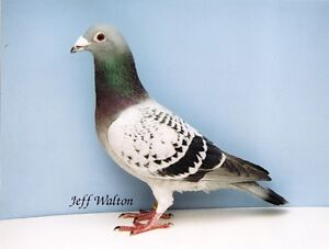 Sudbury Nickel Belt Pigeon Fanciers Club