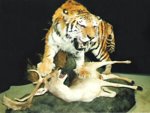 Seberian tiger , leopard ,lion & exotics life-size and rugs for