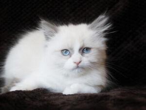 Bi-Color Ragdoll Male Kitten is Ready for Good Home