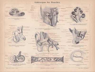 Gehörorgane Ohr Trommelfell Labyrinth HOLZSTICH von 1876 Schnecke Ohrenheilkunde