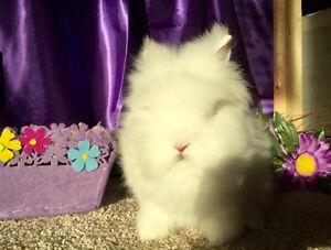 Beautiful Lionhead bunnies available