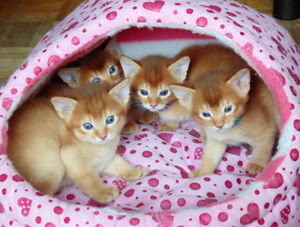 Magnifique chatons Abyssin / Abyssinian