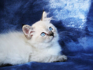 Colour Point Ragdoll Kittens for Rehoming