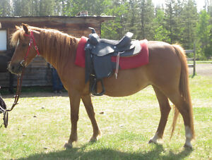 Section A Welsh Pony Mare