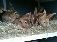 Baby rex rabbits ready to leave now