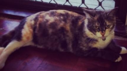URGENT! Lost heavily pregnant female cat!