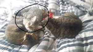Missing tabby kitten 9 months old Newnham Launceston Area Preview