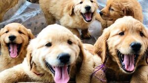 GOLDEN RETRIEVER PUPPIES!! WE ARE ACCEPTING DEPOSITS!!