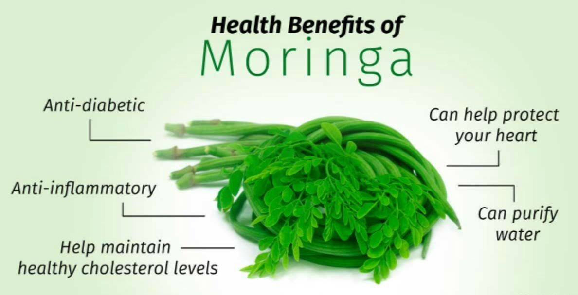 malunggay moringga oliferous extract as organic Botany malunggay is a much-branched small tree growing as high as 9 meters, with a soft and white wood and corky and gummy bark leaves are alternate, usually thrice pinnate, 25 to 50 centimeters long.