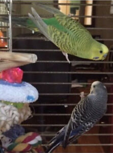 Budgies to a forever home