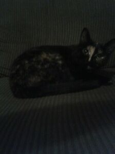 2 year old cat looking for a good home.  Kitchener / Waterloo Kitchener Area image 4