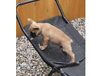 For sale French bulldog puppys kc reg