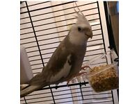 White faced grey cockatiel