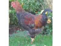 Chicken -Brahma