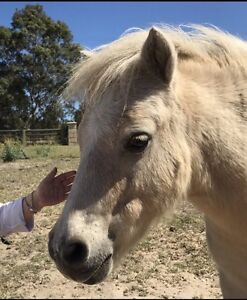 Miniature horses x 3 Bullsbrook Swan Area Preview