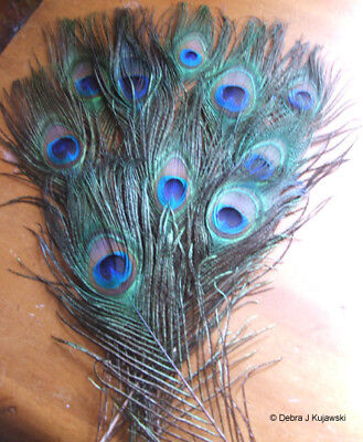10 Natural Irridescent Peacock Feathers Small - Medium Eyes cut stem 8-14