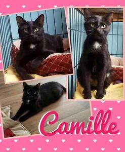 """Adult Female Cat - Domestic Short Hair: """"Camille"""""""