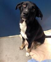 "Adult Female Dog - Labrador Retriever-Collie: ""Emma"""