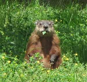 Live Trap Needed for Woodchuck (Groundhog)  and Rabbit.