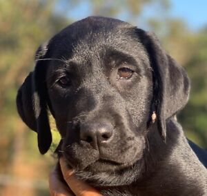 labrador in New South Wales | Dogs & Puppies | Gumtree