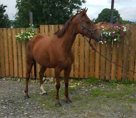 Alrounder 16hh.