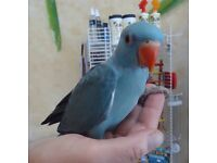 Baby blue Ringneck talking parrot for sale with cage