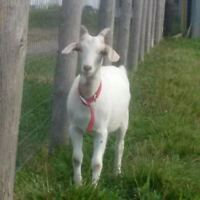 Friendly 6 month old female goat