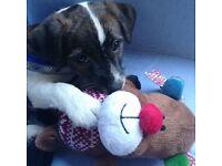 26 week old jack Russel puppy
