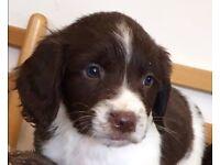 Springer spaniel puppies!!!