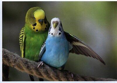 Ansichtskarte: Freunde fürs Leben - zwei Wellensittiche - budgerigars