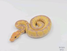 2021 Banana Clown Ball Pythons