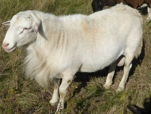 Proven ram for sale