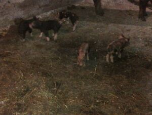 heritage weaner pigs, pigglets, sows, boar, and pigs $50+ Kitchener / Waterloo Kitchener Area image 4