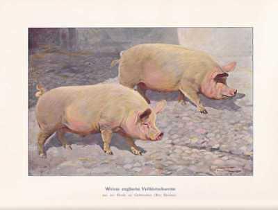 Englische Vollblutschweine Schweine Farbdruck 1925 Reprint Schweinerassen