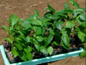GREEN and RED PEPPER PLANTS
