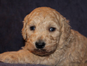 MALE STANDARD GOLDENDOODLE PUPPY