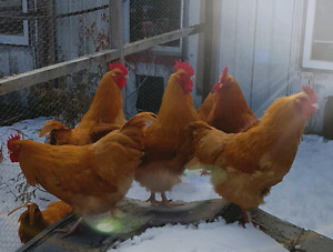 Breeding Stock Roosters - Buff Orpington