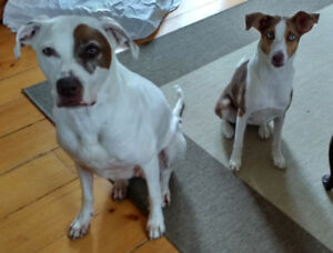 Dog Boarding Stay-At-Home: Maple, Richmond Hill, Thornhill